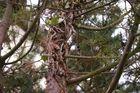 Verwitterter Nadelbaum im Garten.