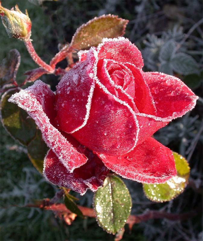 verzuckerte rose foto bild pflanzen pilze flechten bl ten kleinpflanzen rosen. Black Bedroom Furniture Sets. Home Design Ideas