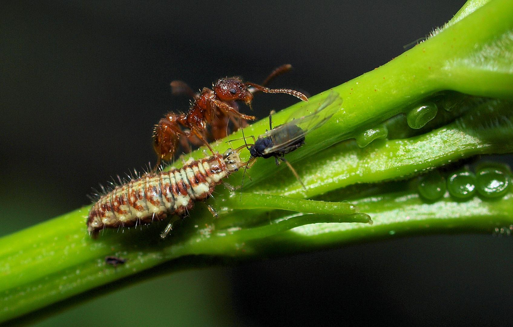 Verzweifelte Ameisen versuchen ihre Läuse zu verteidigen....