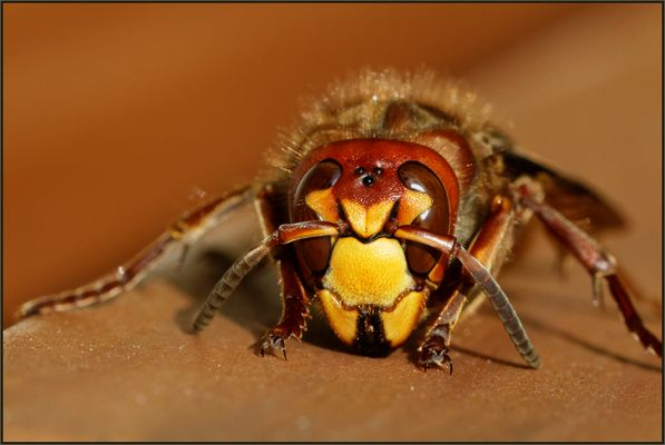 Vespa crabro (Hornisse)