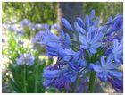 Viale fiorito - Agapanto (Agapanthus africanus)