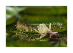 Victoria - Blüte