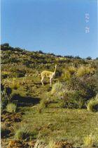 vicuña
