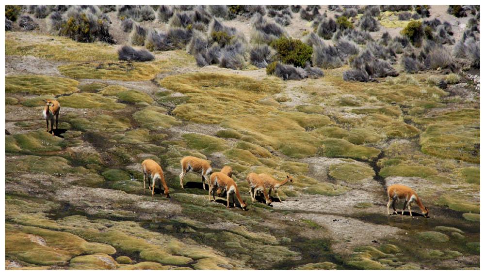 Vicuñas bei einem Bofedal im Lauca-Nationalpark