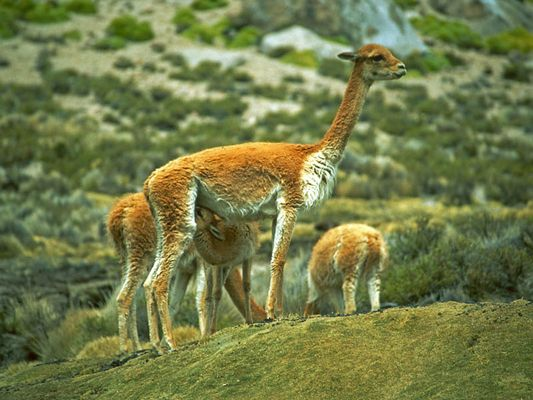 Vicunas am Altiplano