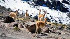Vicunias auf ca.4500m Höhe in Peru