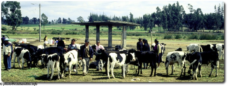 Viehmarkt in Sangolquí / Ecuador