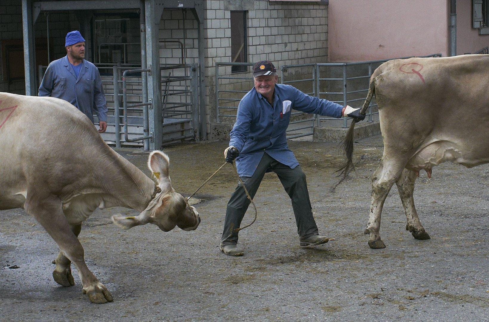 Viehmarkt in Sarnen oder Zähmung der Wiederspenstigen 2