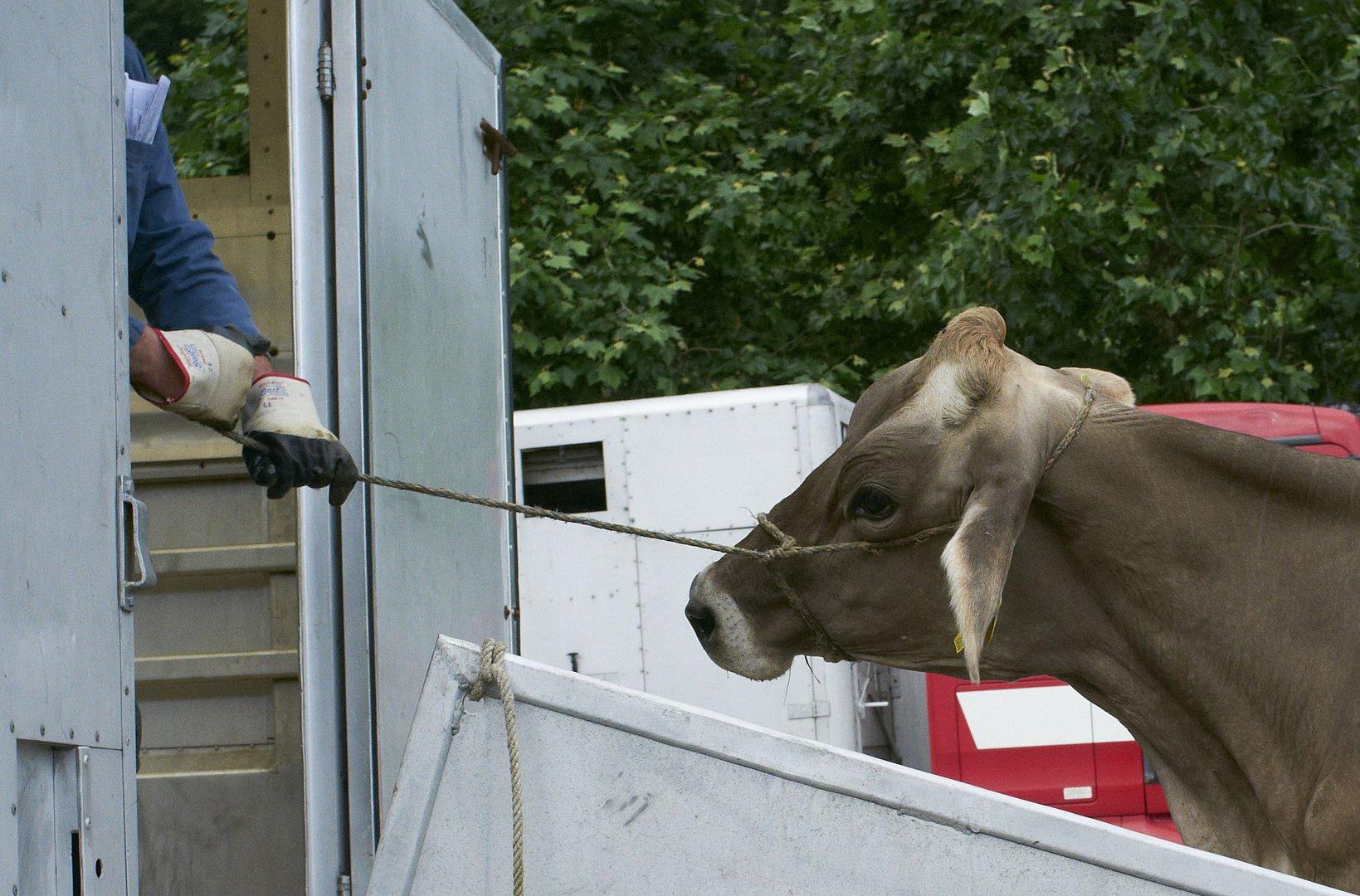 Viehmarkt in Sarnen oder Zähmung der Wiederspenstigen 3