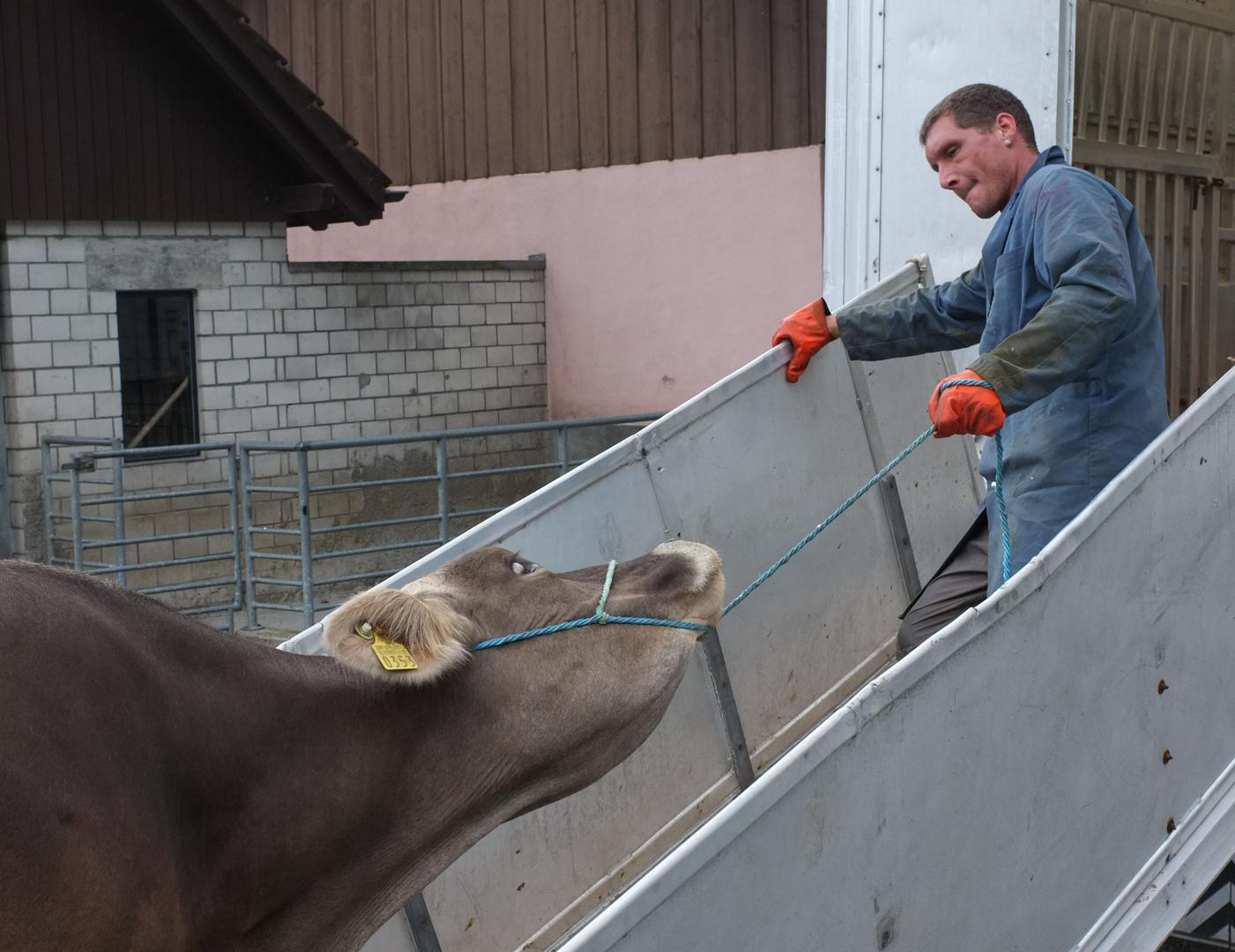 Viehmarkt in Sarnen oder Zähmung der Wiederspenstigen
