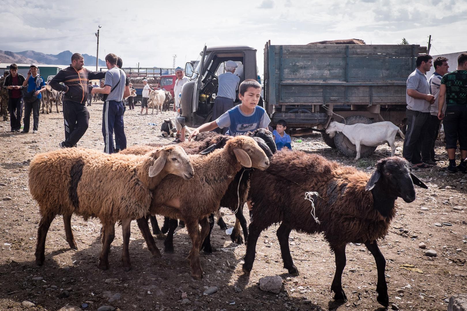 Viehmarkt in Tokmok (Kirgisistan) - August 2013