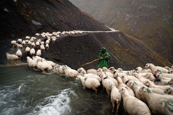 Viehtrieb in Tuschetien