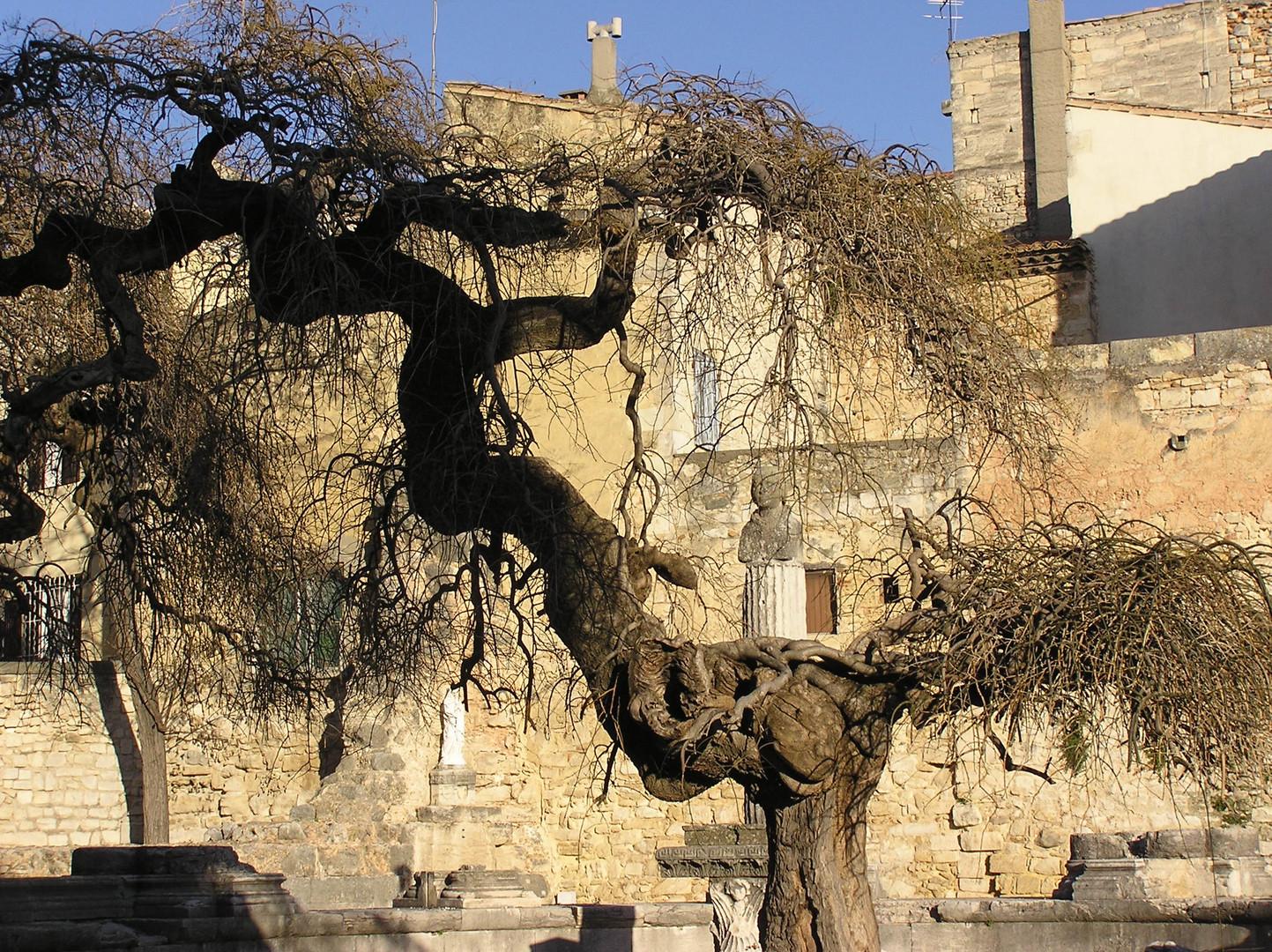 vieil arbre noueux et torturé