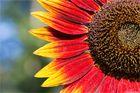 Vielblütige Sonnenblume (Helianthus multiflorus). .........