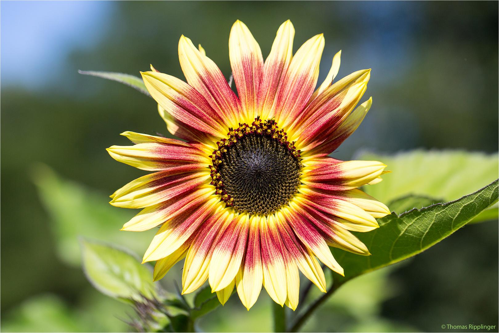 Vielblütige Sonnenblume (Helianthus multiflorus). ..