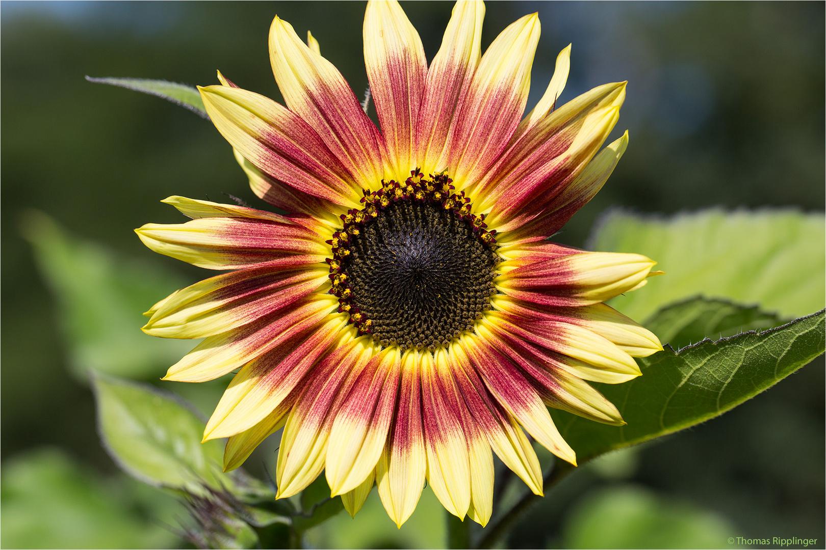 Vielblütige Sonnenblume (Helianthus multiflorus). ...