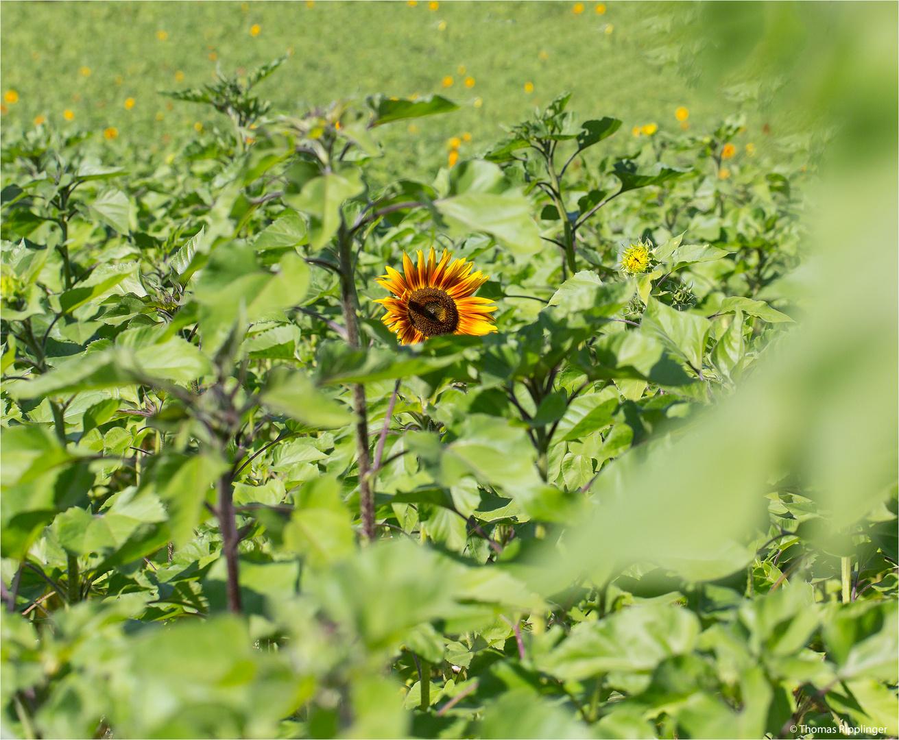 Vielblütige Sonnenblume (Helianthus multiflorus). ....