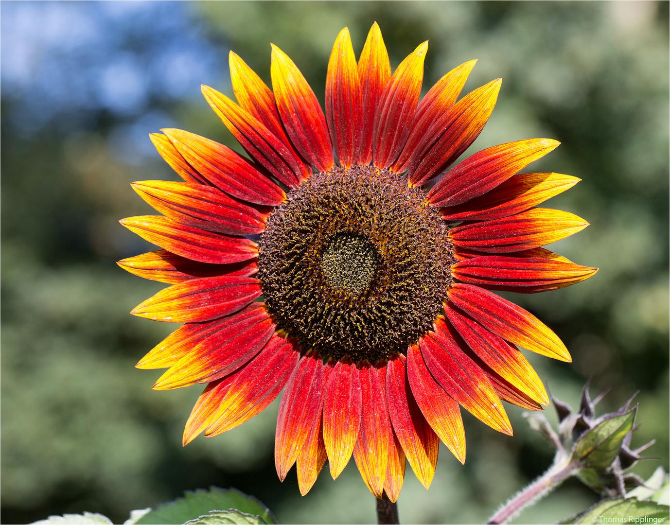 Vielblütige Sonnenblume (Helianthus multiflorus). ........