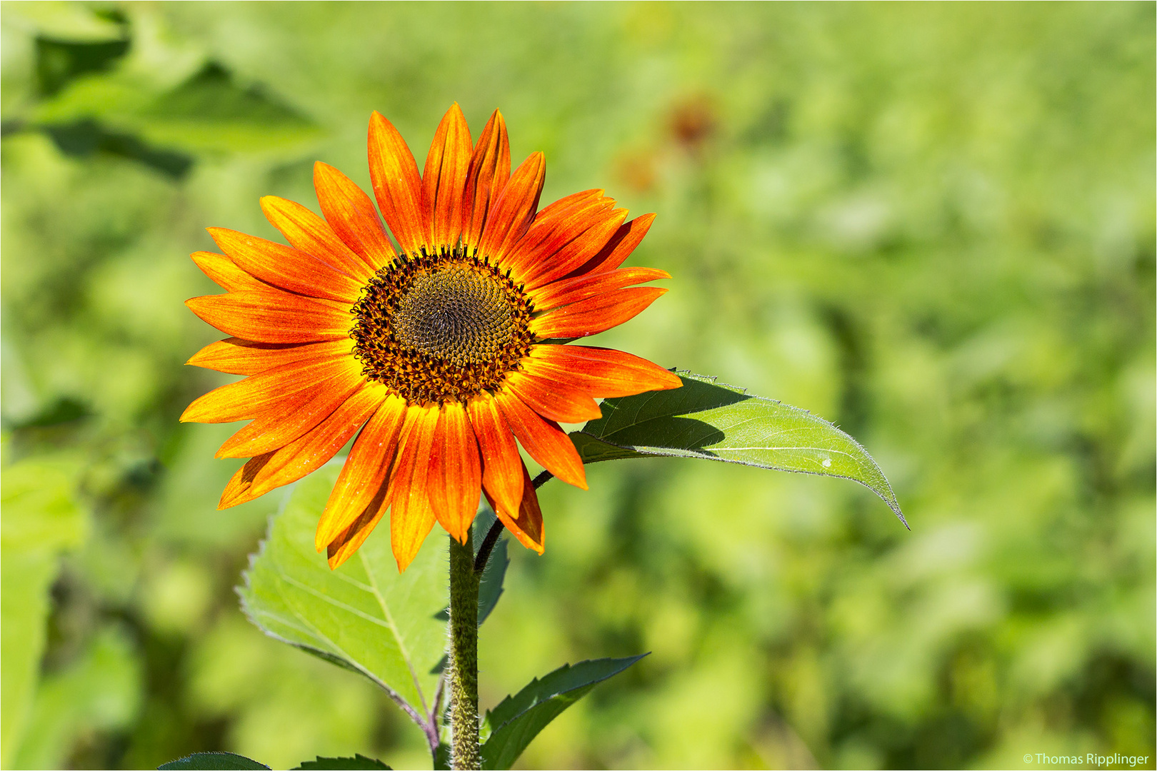 Vielblütige Sonnenblume (Helianthus multiflorus). ..........