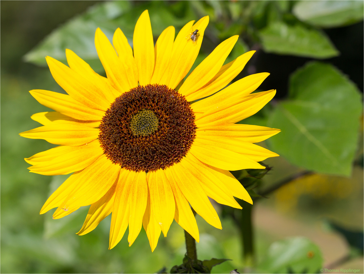 Vielblütige Sonnenblume (Helianthus multiflorus). ......