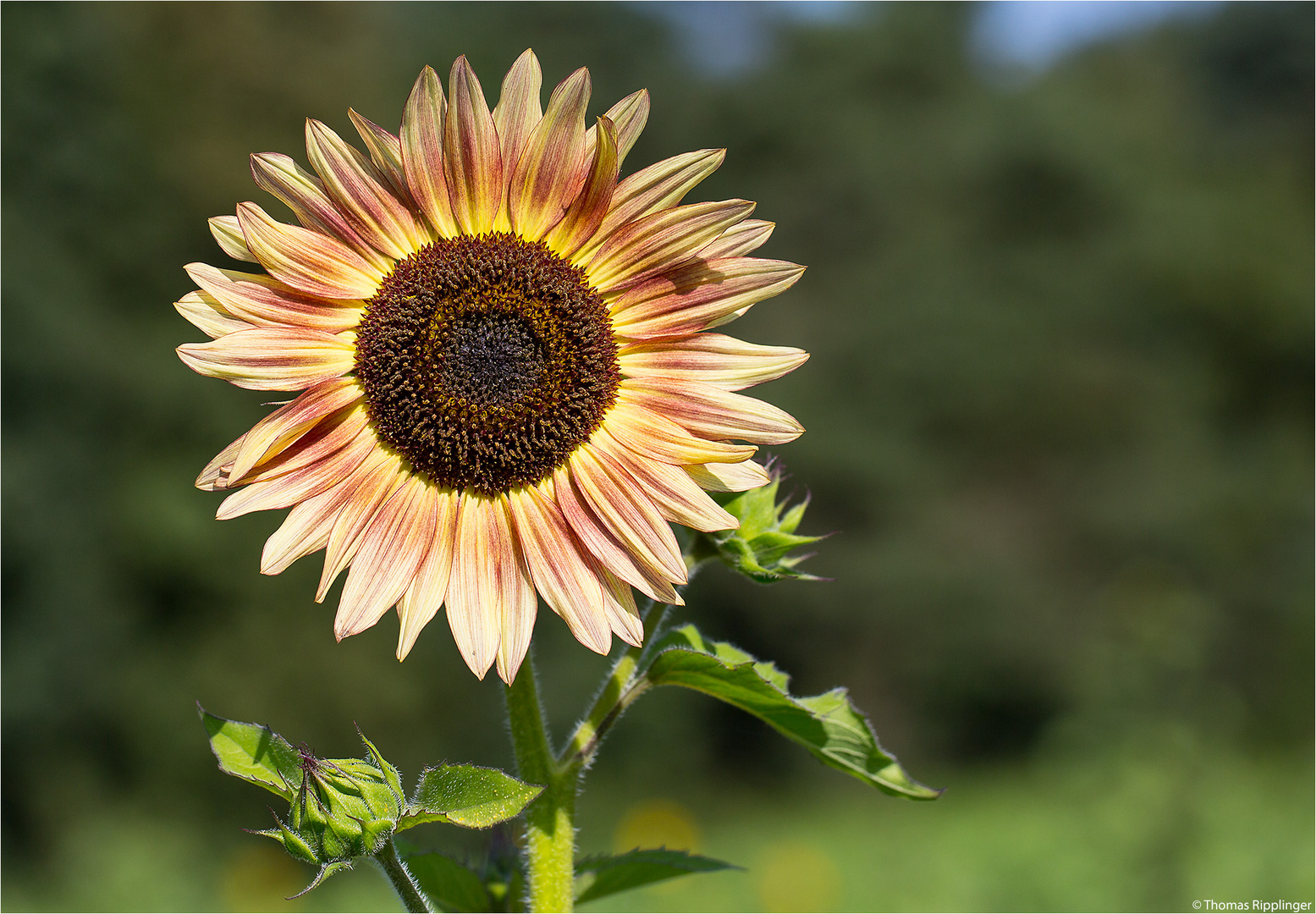 Vielblütige Sonnenblume (Helianthus multiflorus)