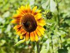 Vielblütige Sonnenblume (Helianthus multiflorus). .....