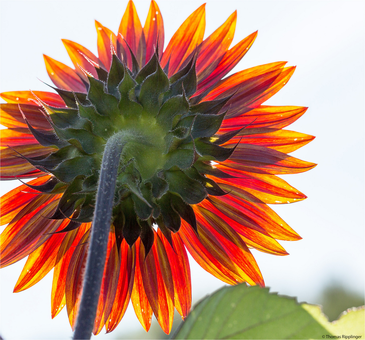 Vielblütige Sonnenblume (Helianthus multiflorus). .......
