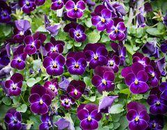 viele freundliche violette gesichtchen