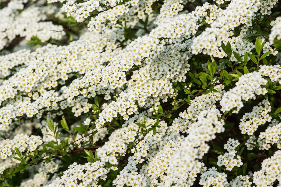 Viele, kleine Blüten (2)