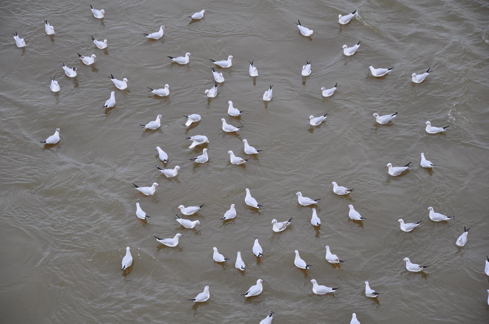viele Möwen im kalten Wasser der Wltava