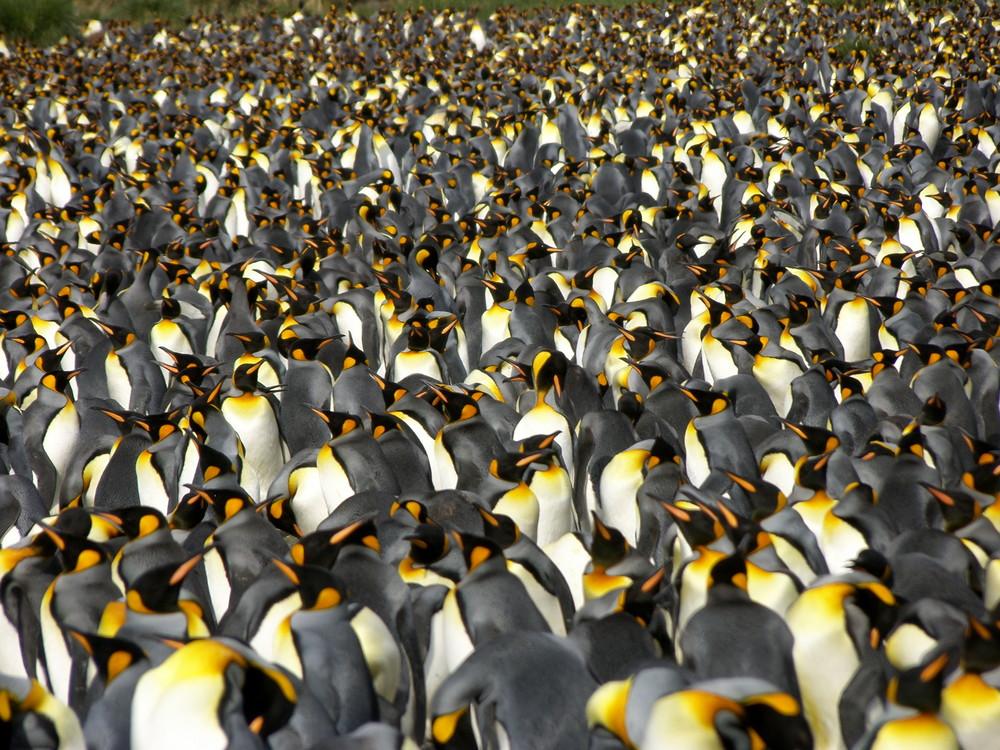 viele pinguine foto bild tiere wildlife wild lebende v gel bilder auf fotocommunity. Black Bedroom Furniture Sets. Home Design Ideas