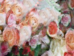 Viele Rosen - Muchas rosas