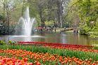 Viele,viele Tulpen