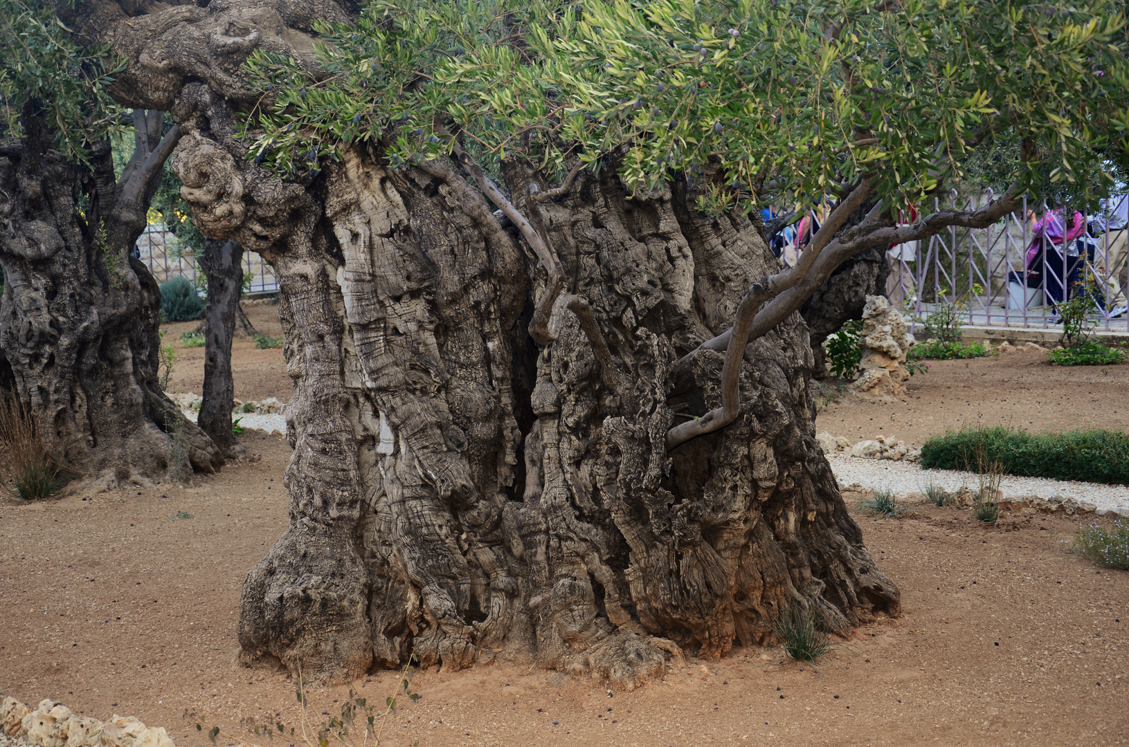 vielleicht 2000 Jahre alte Ölbäume im Garten Getsemane