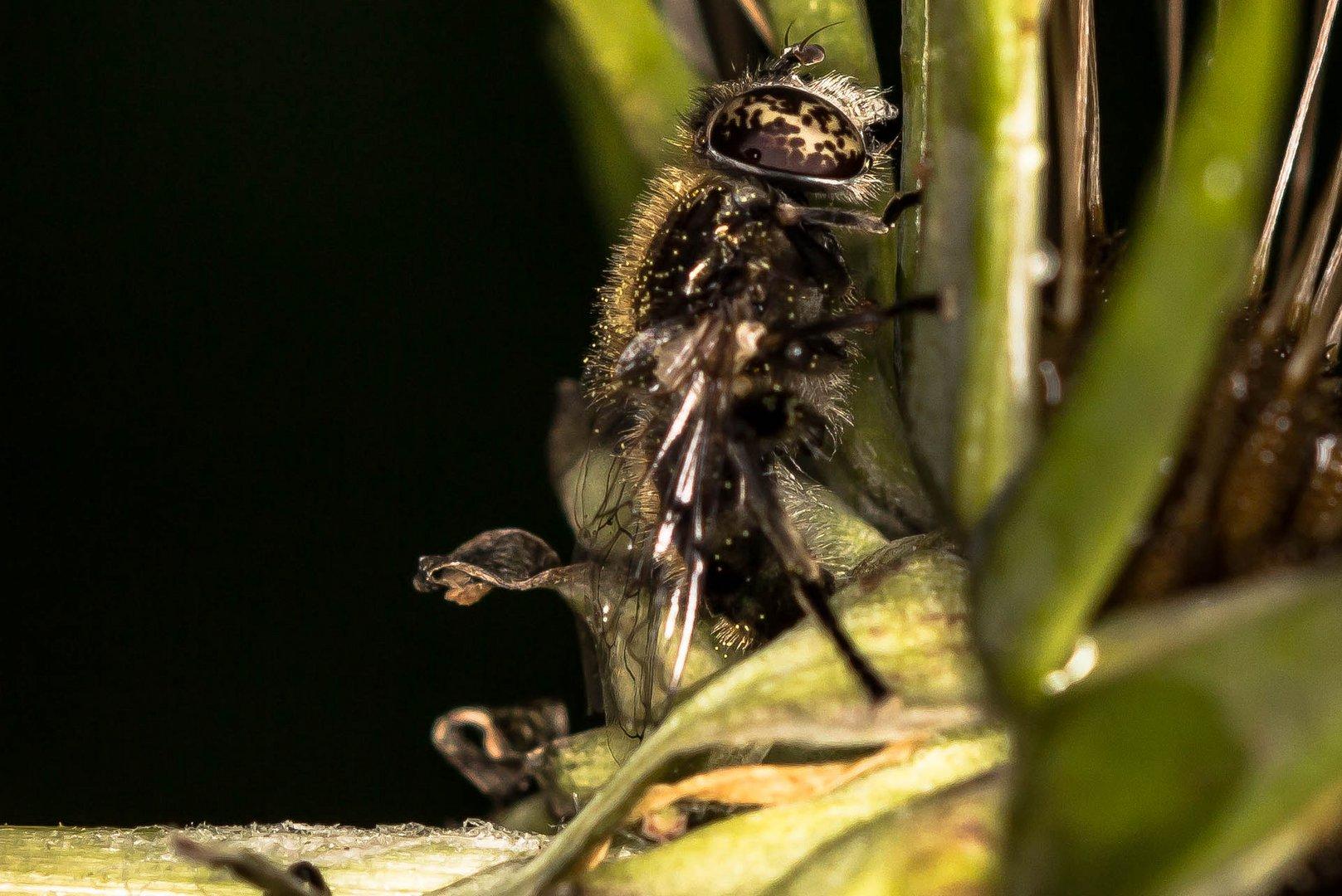 Vielleicht eine Fliege (1)