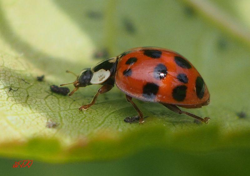 vielpunkt-käfer