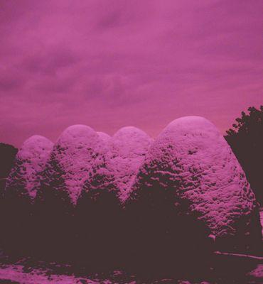 Vier Büsche rose