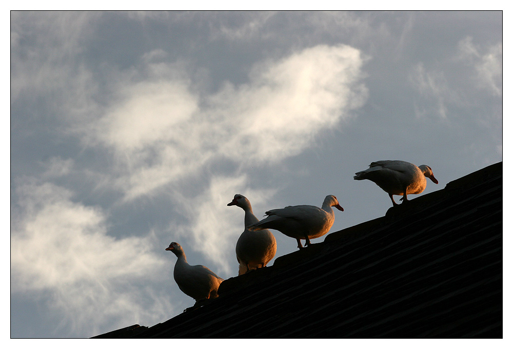 Vier Gänse auf dem Dach...