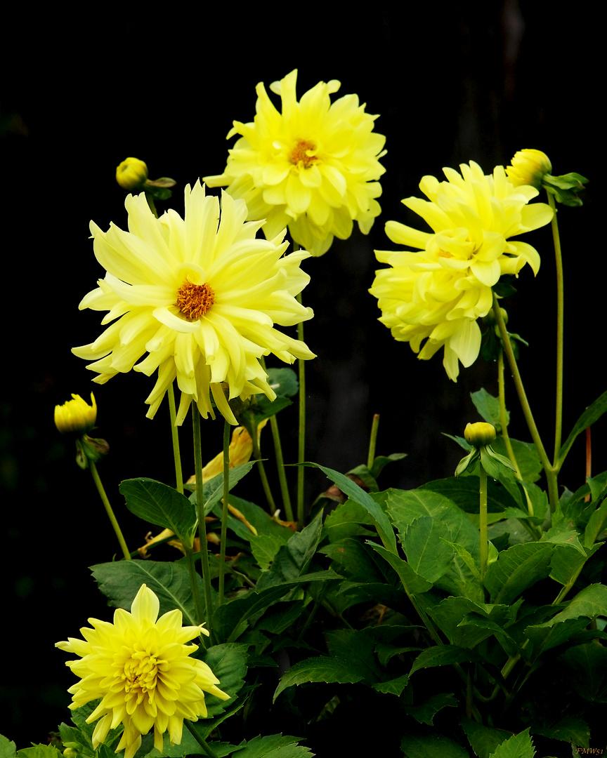 Vier gelbe Schöne