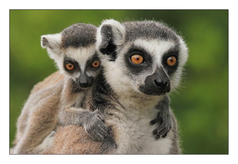 vier gro e augen foto bild tiere zoo wildpark falknerei s ugetiere bilder auf fotocommunity. Black Bedroom Furniture Sets. Home Design Ideas