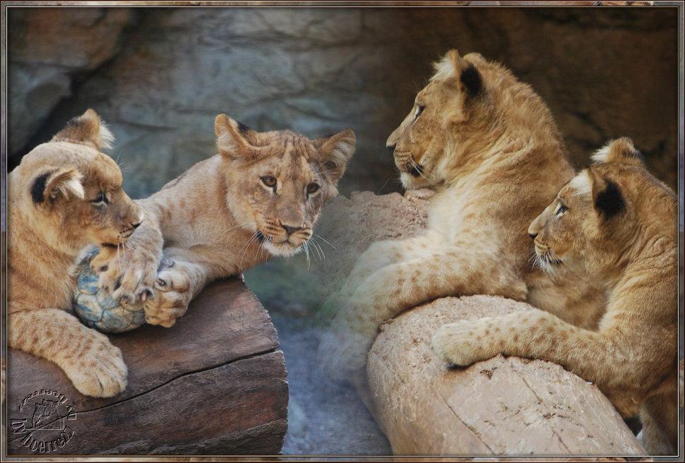 Vier kleine Löwenracker