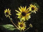 Vier kleine Sonnen