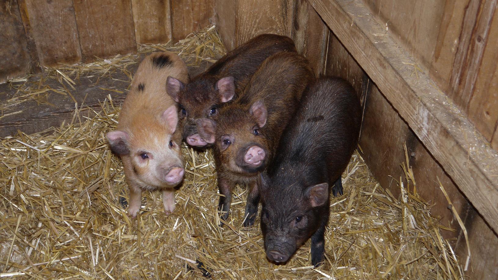 vier Schweinchen die Liebäugeln