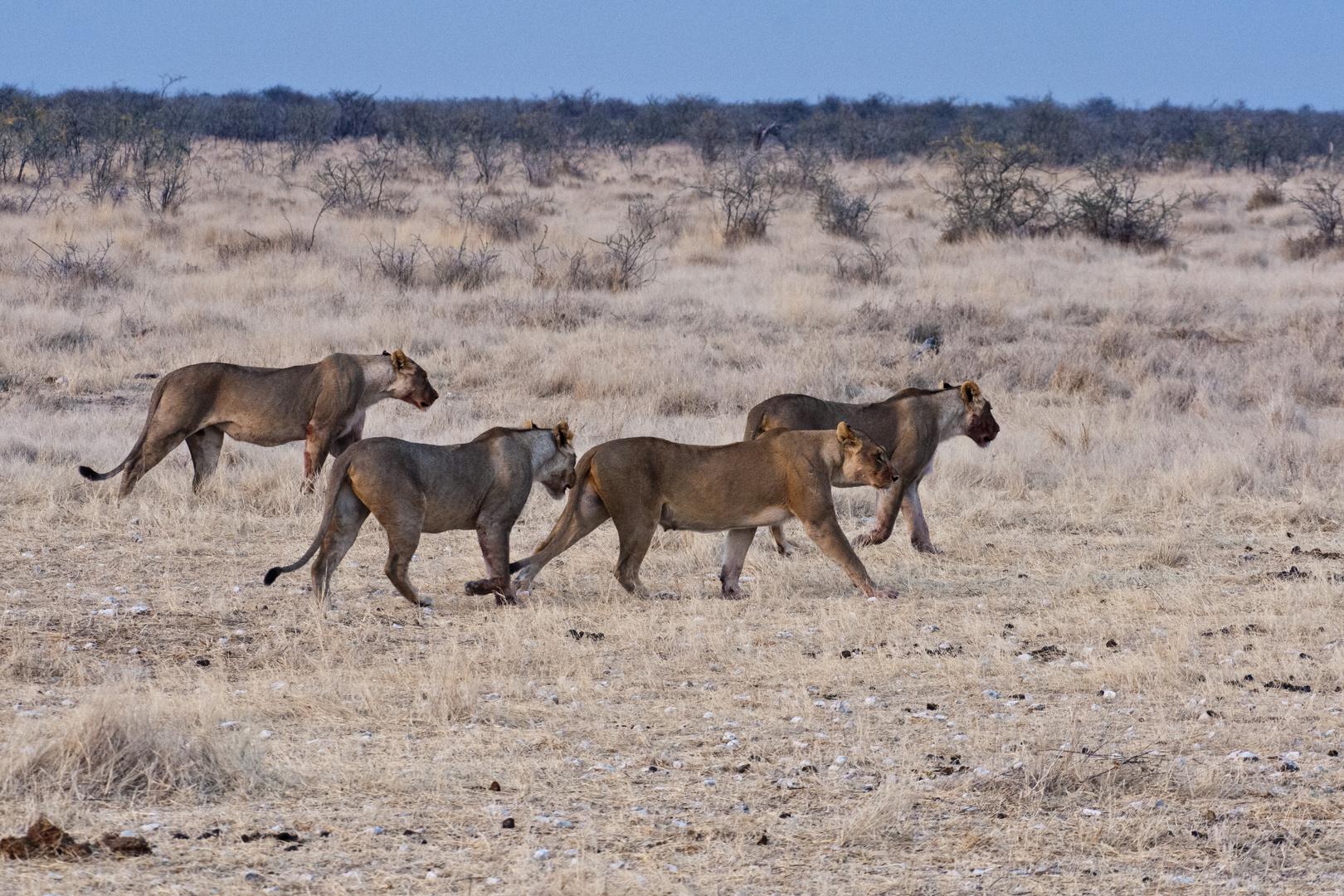 Vier Schwestern - Löwinnen im Etosha NP