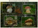 Vier Steinpilz-Arten auf einen Blick