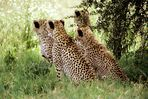 Vier wartende Geparden (Reload)