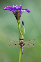 Vierfleck auf Lilie