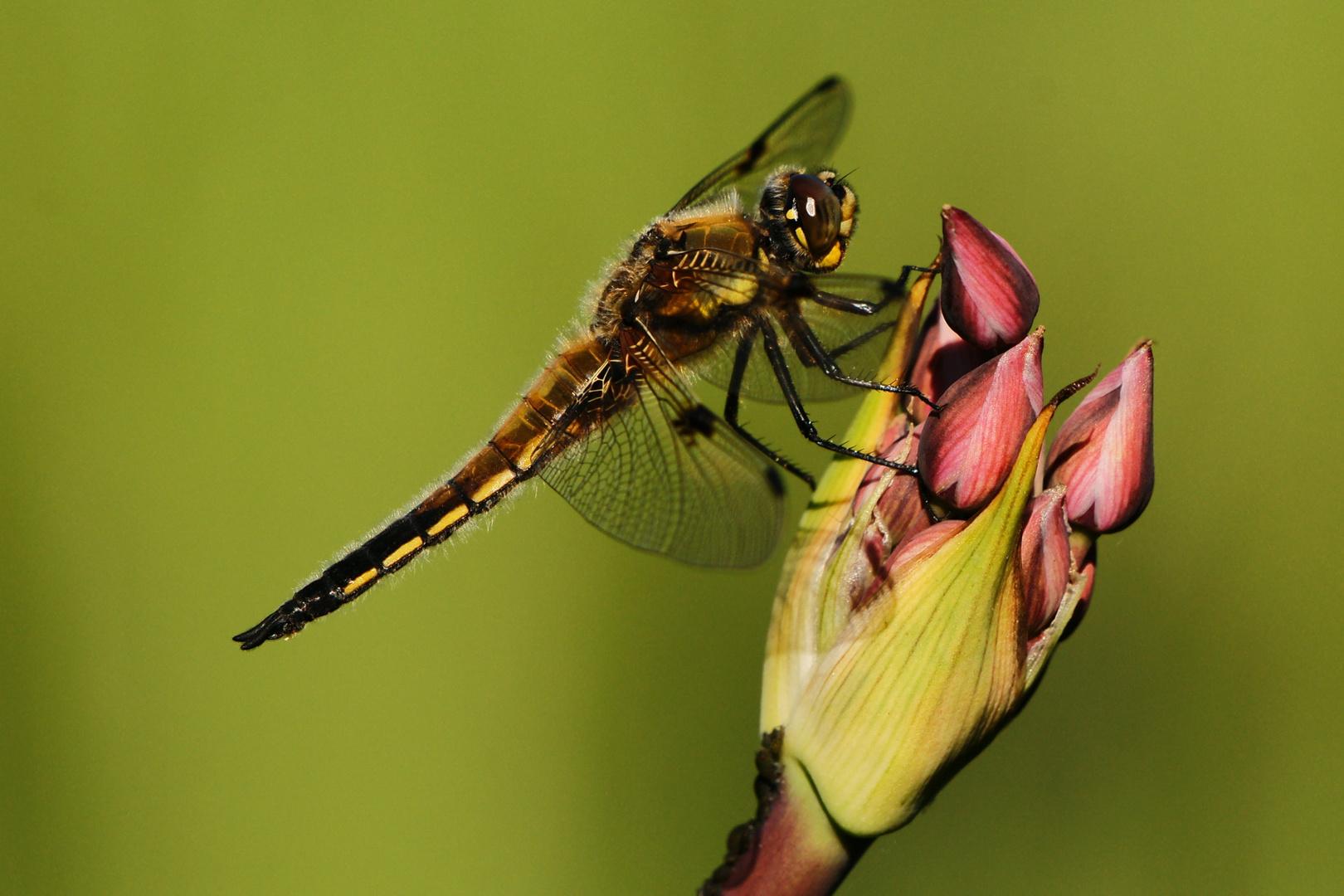 Vierfleck auf Schwanenblume