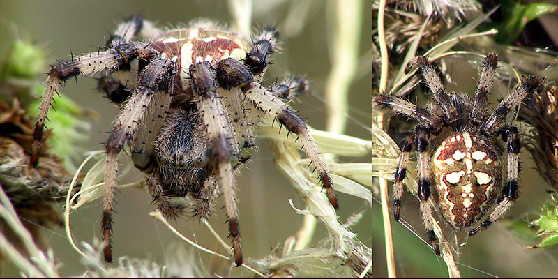 Vierfleck - Kreuzspinne (Araneus quadratus)