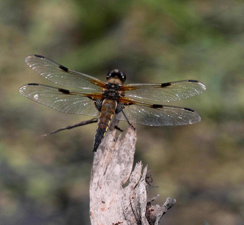 Vierfleck - Libelle